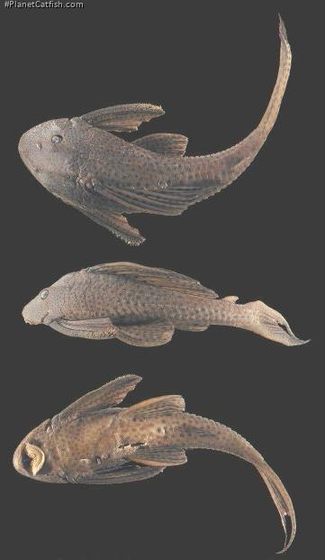 Hypostomus sculpodon