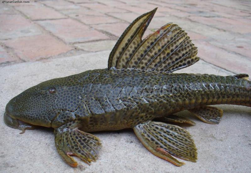 Hypostomus sp. `RIO PILCOMAYO`