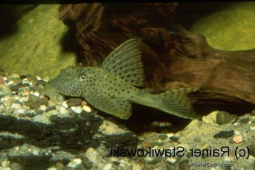 Hypostomus sp. (L117)