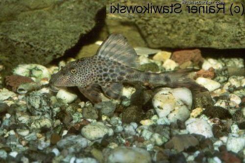 Hypostomus sp. (L145)