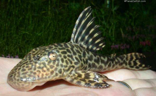 Hypostomus sp. (L245)