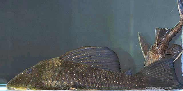 Hypostomus sp. (L286)