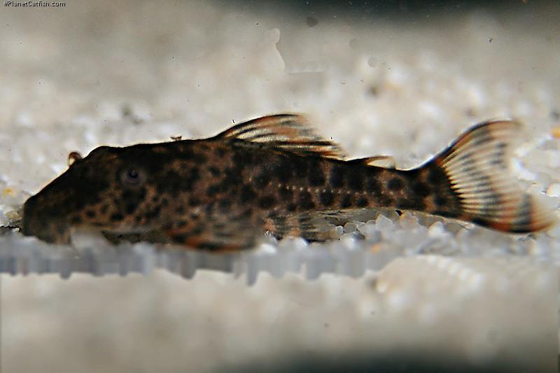 Hypostomus sp. (L346)