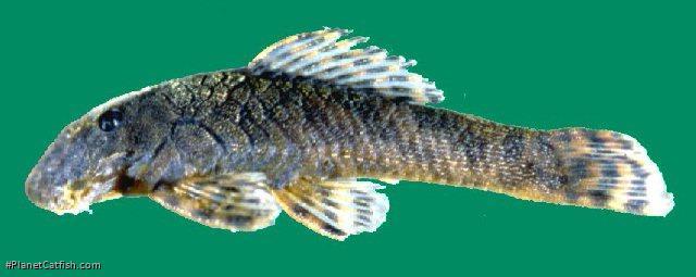 Leptoancistrus canensis