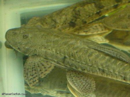 Loricariichthys brunneus