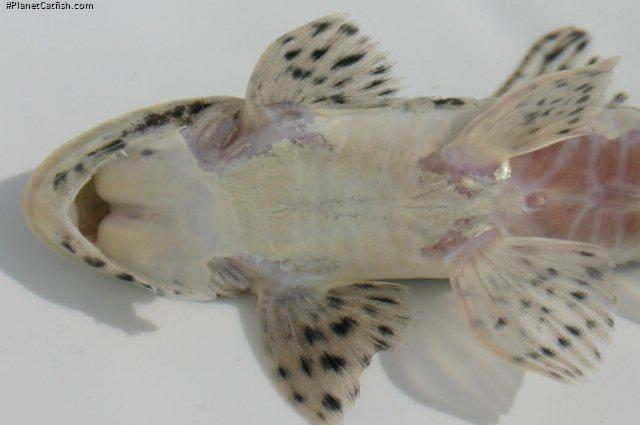 Loricariichthys platymetopon