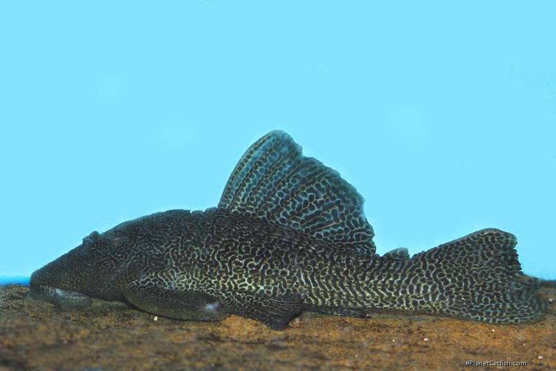 Megalancistrus sp. (LDA097)