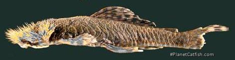 Neblinichthys echinasus