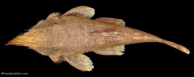 Neblinichthys pilosus
