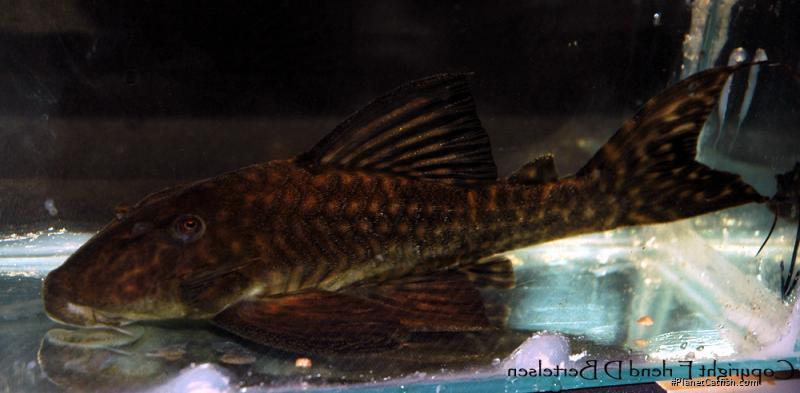 Panaqolus cf. nocturnus