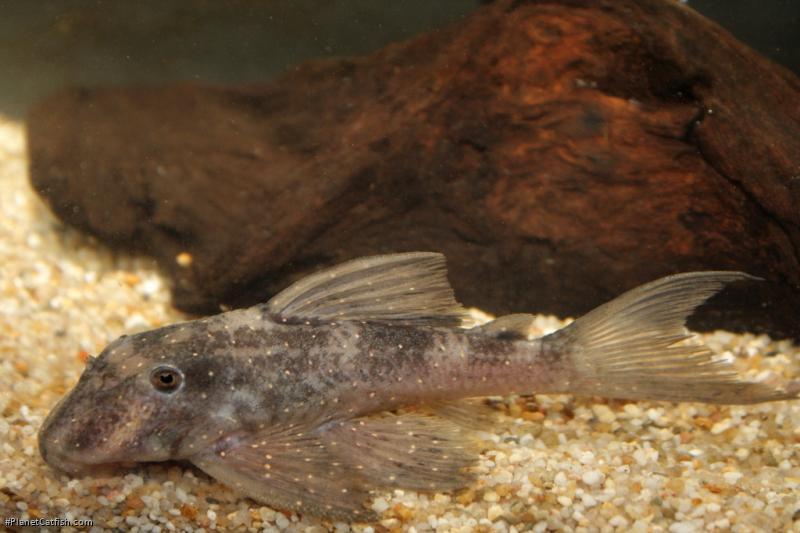 Panaqolus sp. (L426)
