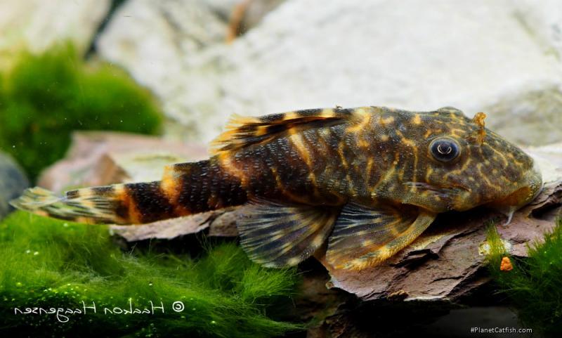 Panaqolus sp. (L448)