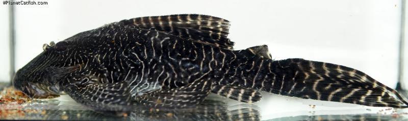 Panaqolus sp. (L453)