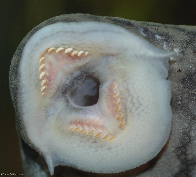 Panaque bathyphilus
