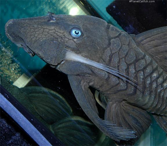 Panaque cf. cochliodon`upper magdalena`