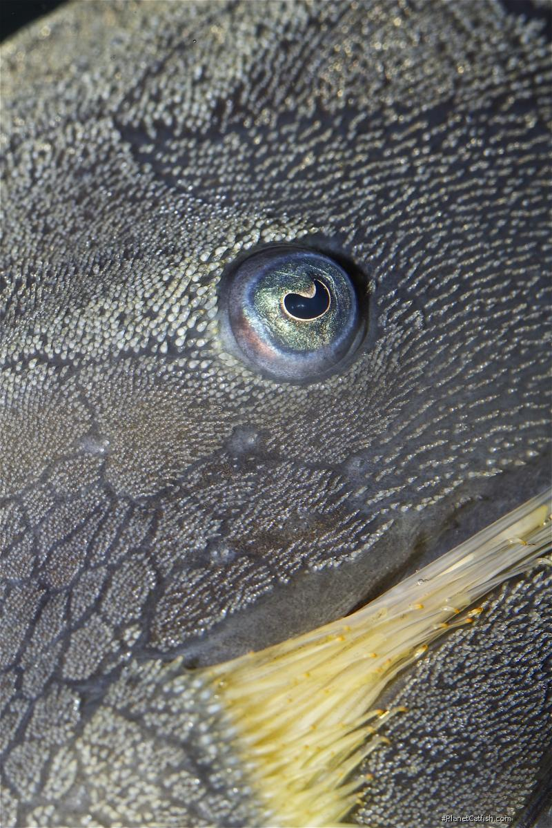 Panaque cochliodon