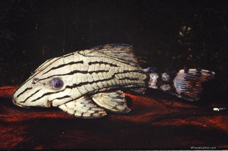 Panaque sp. (L191)