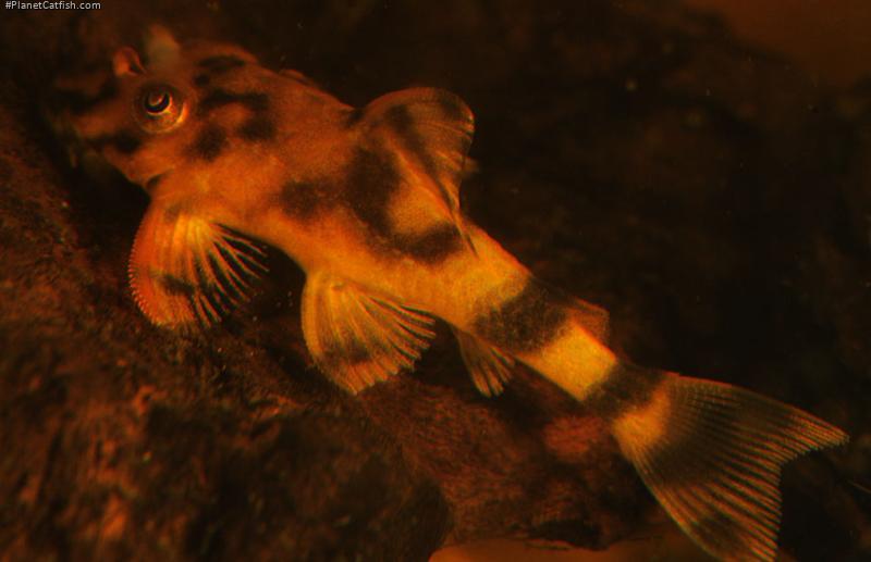 Peckoltia lineola