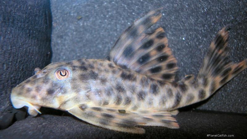 Peckoltia oligospila