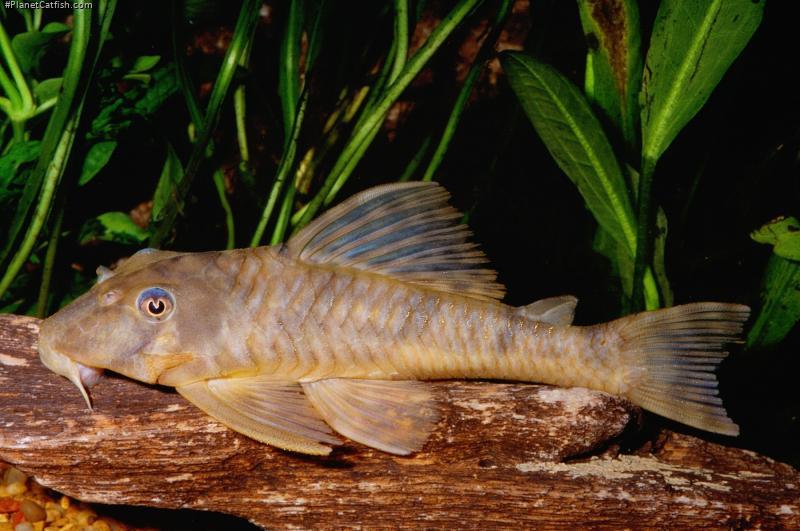 Peckoltia sp. (L009)