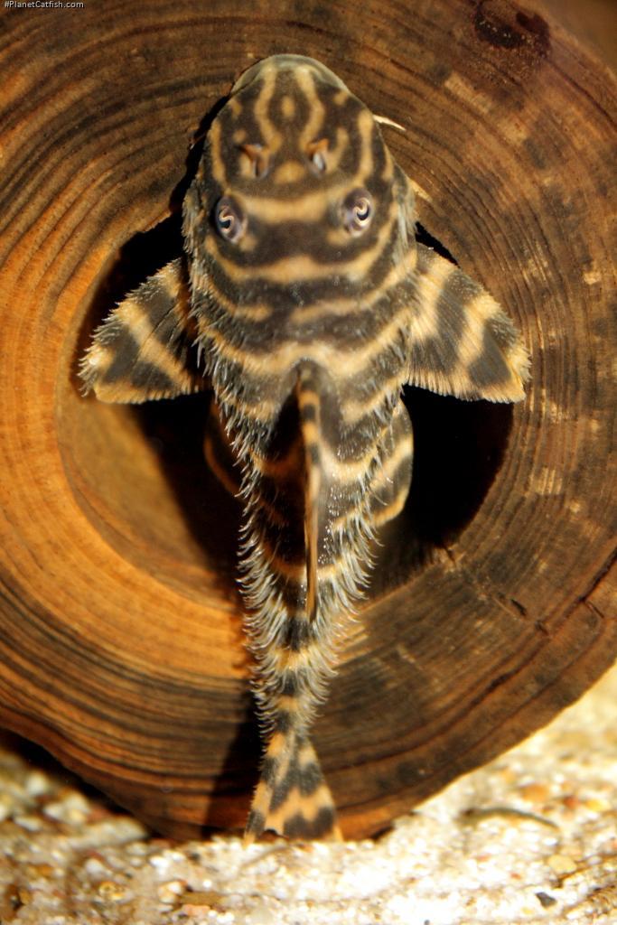 Peckoltia sp. (L038)