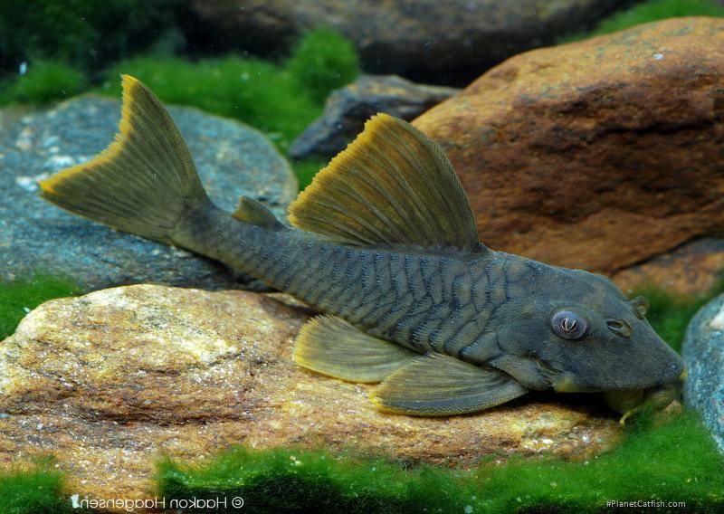 Peckoltia sp. (L076)