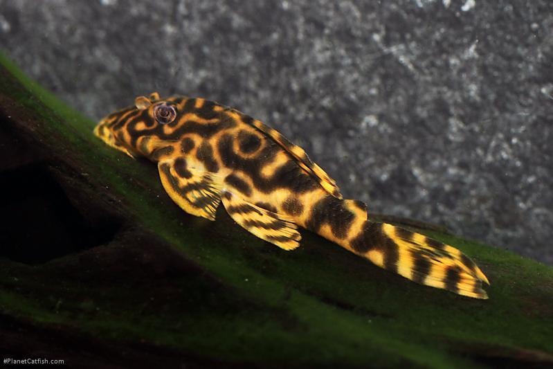 Peckoltia sp. (L140)