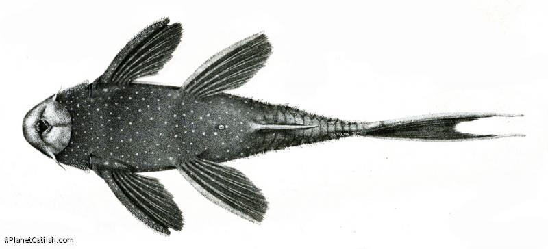Pseudacanthicus fordii