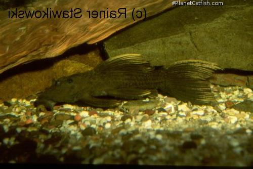 Pseudacanthicus sp. (L179)