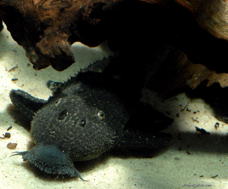 Pseudacanthicus sp. (L282)