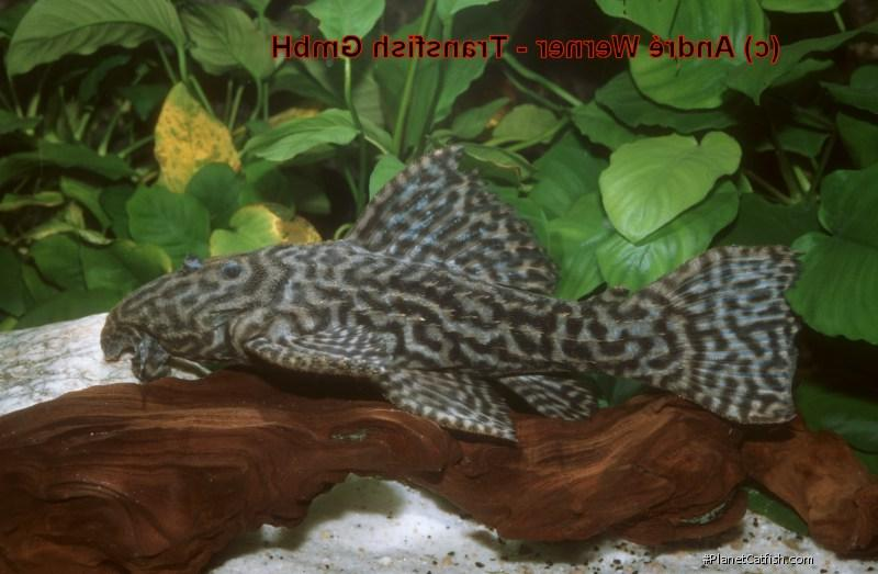 Pseudacanthicus sp. (L380)