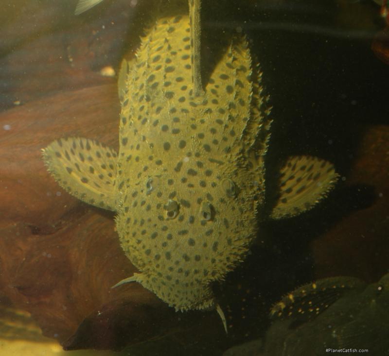 Pseudacanthicus spinosus