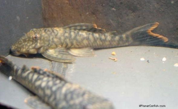 Pseudancistrus sp. (L122)