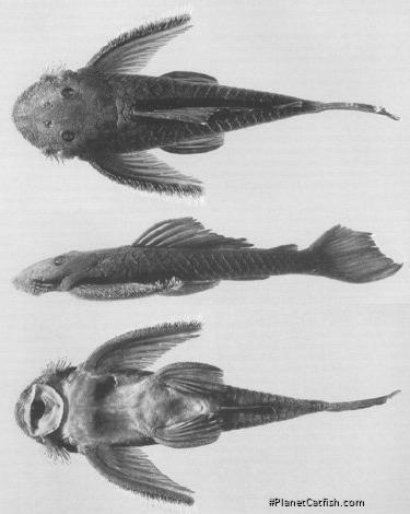 Pseudolithoxus nicoi