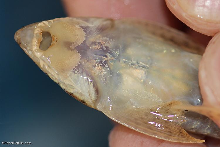 Pseudoloricaria laeviuscula
