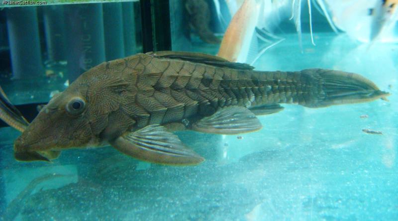 Pseudorinelepis genibarbis