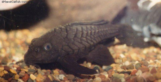 Pseudorinelepis sp. (L152)