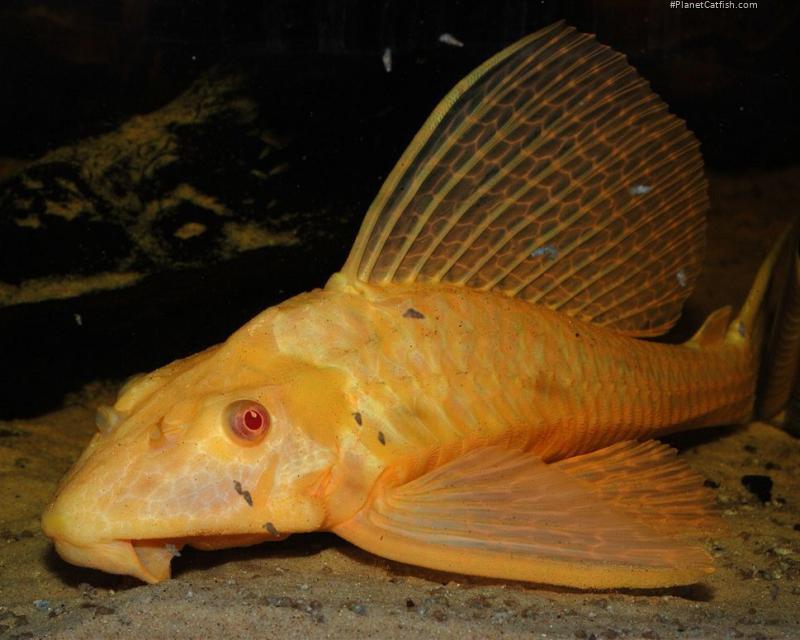 Pterygoplichthys gibbiceps