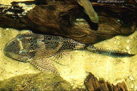 Pterygoplichthys pardalis