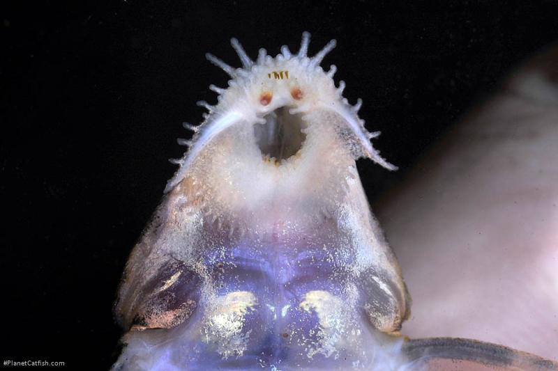 Spatuloricaria terracanticum