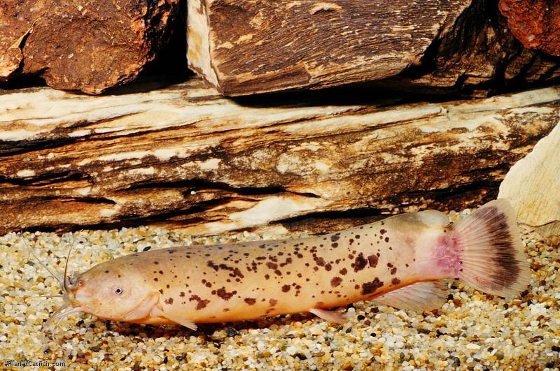 Malapterurus beninensis