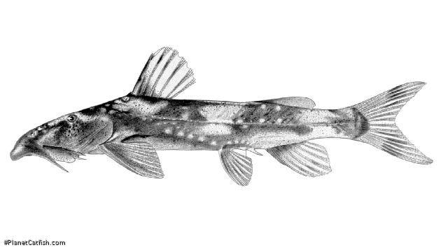 Chiloglanis lukugae