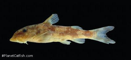 Chiloglanis occidentalis