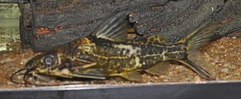 Synodontis afrofischeri