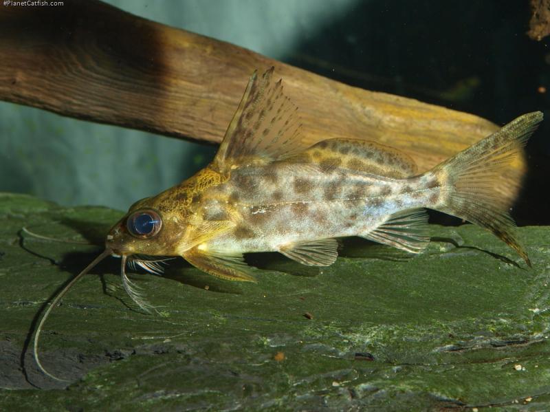 Synodontis alberti