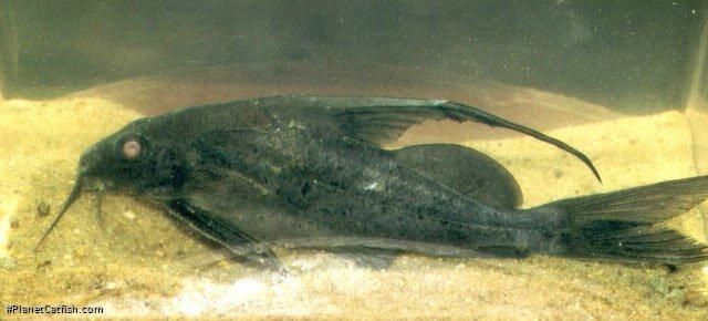 Synodontis comoensis
