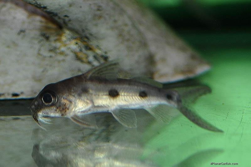 Synodontis congicus