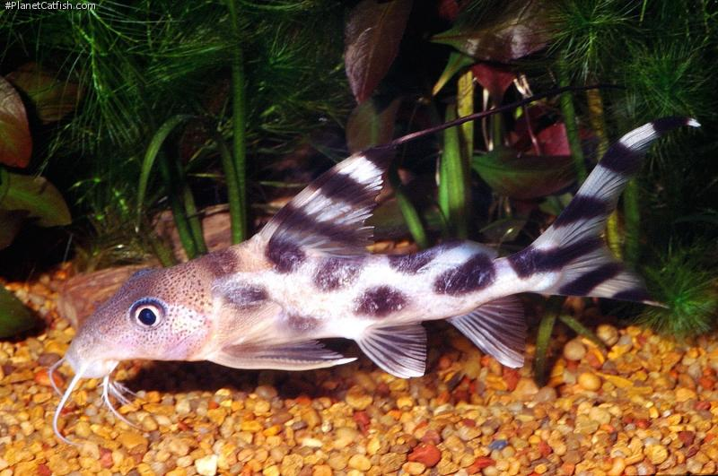 March • 2002 • Catfish of the Month • www.planetcatfish ...
