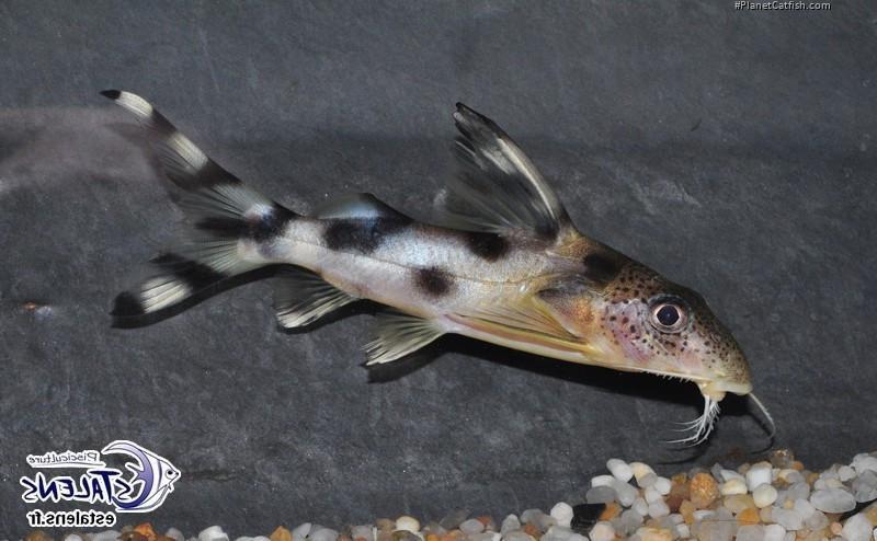 Synodontis decorus - PlanetCatfish.com