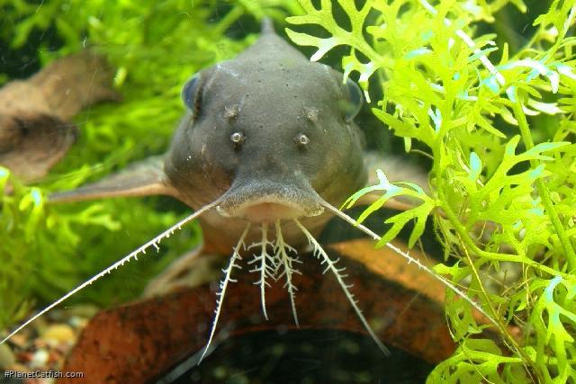 PlanetCatfish.com - Synodontis decorus